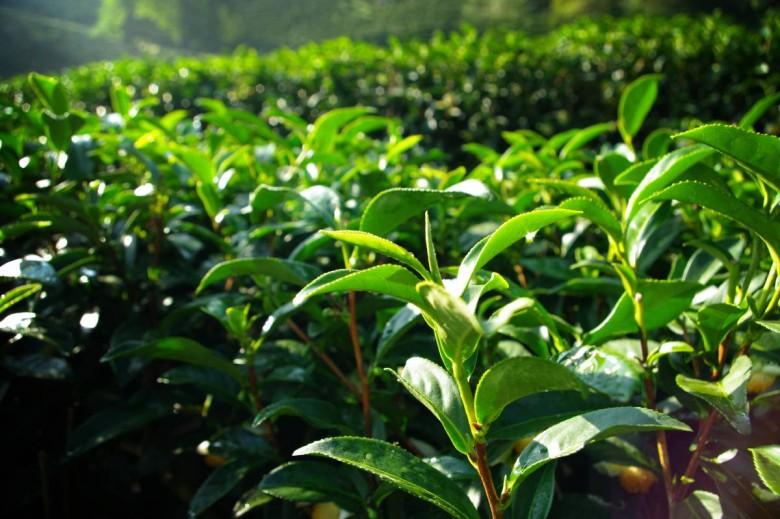 Kineski čaj – pomoćnik u borbi protiv stresa i održavanju zdravlja